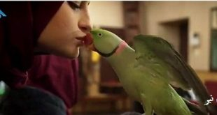 در جریان پخش سریال پایتخت ۶ یک سکانس از این سریال که در آن سارا (نیکا ) به سر یک طوطی بوسه میزند جنجال ساز شد