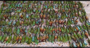 چند تن از پرورش دهندگان و کندو دارآن زنبور عسل در طارم سفلی در استان قزوین اقدام به سمپاشی غیرقانونی و بدون مجوز کردند که باعث مسمومیت و تلف شدن تعداد ۳۱۱ قطع پرنده زنبورخوار گردید