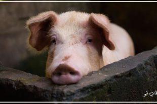 محققان چینی در مطالعهای که در مجله علمی PNAS ایالات متحده پلاس منتشر شد خبر پس از شناسایی یک آنفولانزای جدید خوکی که قابلیت هم گیری جهانی را دارا می باشد منتشر کردند