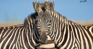 عکاس حرفهای هندی «ساروش لودی» در سفر به کنیا و عکسبرداری از حیوانات پارک ملی این کشور به صورت تصادفی عکسی از دو گورخر انداخته که همزمان سر آنها در کنار یکدیگر قرار گرفته و تشخیص اینکه کدام گورخر به دوربین نگاه می کند را به صورت یک چالش در آورده است !