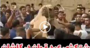 انتشار یک فیلم دردناک از قربانی کردن یک نفر شتر در شهر کاشان برای عید قربان درمیان یک تجمع چند هزارنفری باعث ایجاد واکنش های مختلفی از سوی طرفداران حقوق حیوانات شد
