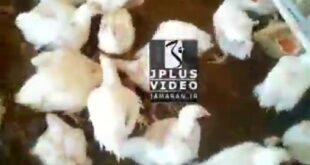 یک بیماری عجیب به نام دیگر خواری گریبانگیر بسیاری از مرغداران شهرستان ارومیه در استان آذربایجان غربی شد