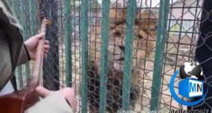 فیلم منتشر شده از نواختن سه تار توسط هاتف ملکشاهی برای یک شیر در قفس موجی از احساس و البته اندوه و غمگینی برای این موجود در بند را رقم زد