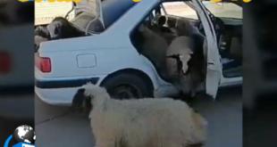 در یک فیلم منتشر شده در فضای مجازی گویا نیروی انتظامی یک سارق گوسفند را که با خودروی پارس اقدام به سرقت کرده بود دستگیر کرد