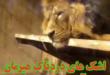 فیلم منتشر شده از وضعیت نگهداری بد شیر آسیایی مجموعه باغ وحش ارم که در شرایط نامناسب نگهداری می شود دل بسیاری از هواداران محیط زیست را به درد آورد