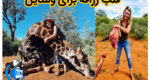 در یک اتفاق عجیب و دردناک یک زن شکارچی در آفریقای جنوبی در نهایت بی رحمی یک زرافه را شکار کرد و قلب او را به عنوان هدیه ولنتاین برای همسرش فرستاد