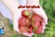 امروز تو تقویم جهانی روز یکی از دلبرترین میوه های دنیاست،روز جهانی توت فرنگی. کمتر کسی هست که عاشق این میوه خوشرنگ و خوش طمع نباشه