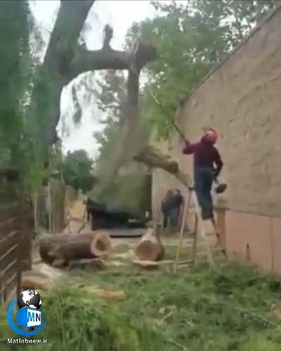 فیلم/ لحظه هولناک و دلخراش مرگ یک هرس کننده درختان
