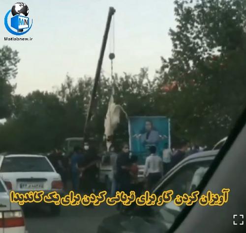 فیلم/ آویزان کردن یک گاو از جرثقیل برای قربانی کردن برای کاندیدای انتخابات شوراها در سیرجان